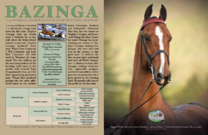 Bazinga - The Morgan Horse Jan 2017
